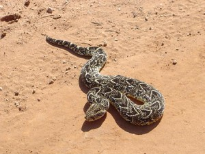 Puff_Adder_Pic